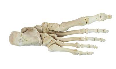 Biomedical Illustration Photograph - Human Foot Bones by Sciepro