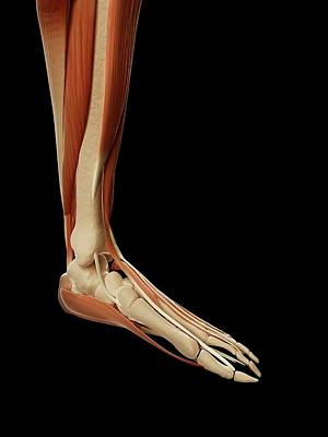 Biomedical Illustration Photograph - Human Foot Muscles by Sebastian Kaulitzki