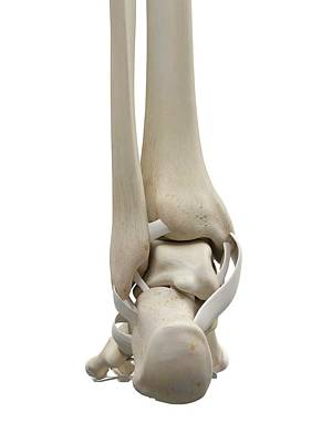 Biomedical Illustration Photograph - Human Foot Tendons by Sciepro