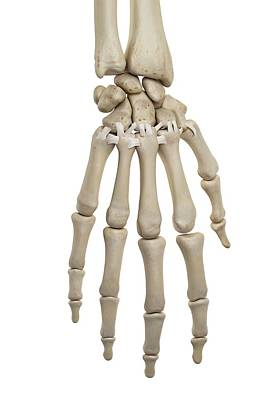 Human Hand Ligaments Art Print by Sciepro