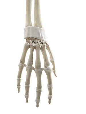 Human Hand Tendons Art Print by Sciepro