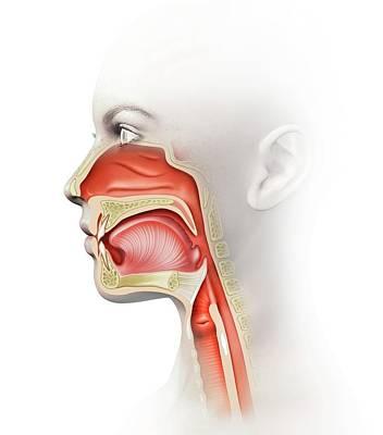 Human Voice Photograph - Human Head Anatomy by Henning Dalhoff