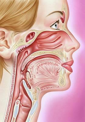 Ent Photograph - Human Head Anatomy by John Bavosi