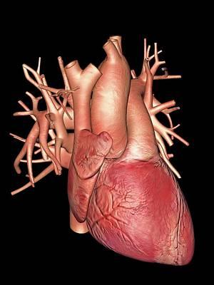 Pump Organ Photograph - Human Heart by Alfred Pasieka