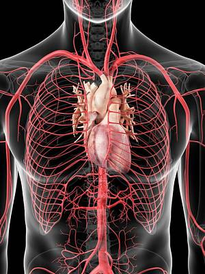 Human Heart And Arteries Art Print by Sciepro