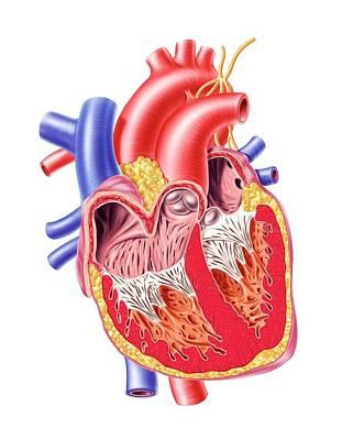 Human Heart, Artwork Art Print by Leonello Calvetti