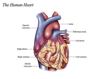 Photograph - Human Heart, Illustration by Krystal Thompson