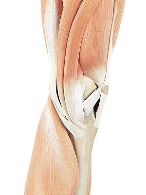 Human Knee Muscles Art Print by Sciepro