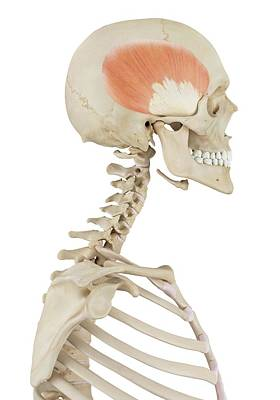 Biomedical Illustration Photograph - Human Muscles Of Skull by Sciepro