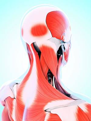 Human Head Photograph - Human Muscular System Of The Neck by Sebastian Kaulitzki