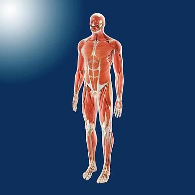 Oblique Photograph - Human Musculature by Springer Medizin