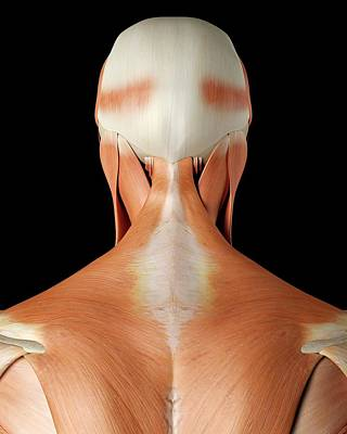 Human Neck And Back Muscles Art Print by Sciepro
