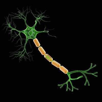 Nerve Cell Photograph - Human Nerve Cell by Pixologicstudio
