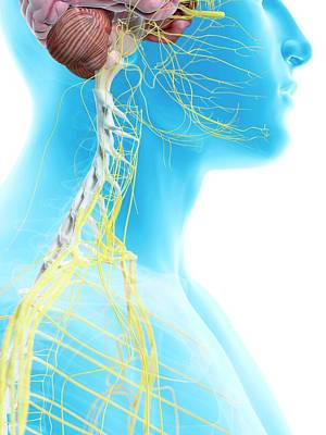 Human Head Photograph - Human Nerves In Neck by Sciepro