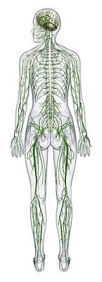 The Human Body Photograph - Human Nervous System by Dorling Kindersley/uig