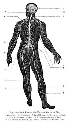 Photograph - Human Nervous System From Behind by Spl