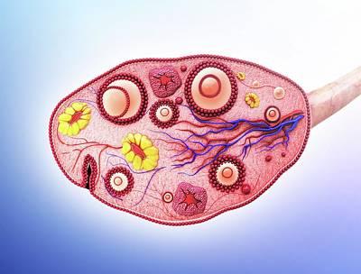 Human Ovary Art Print