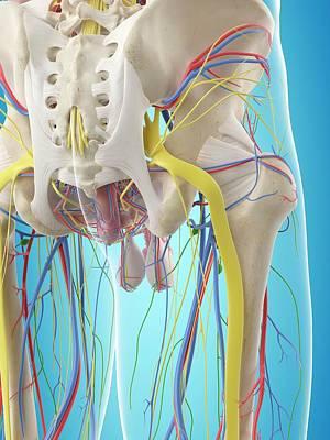 Human Pelvis Anatomy Art Print