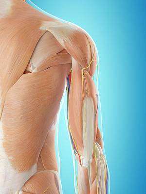 Human Shoulder Anatomy Art Print