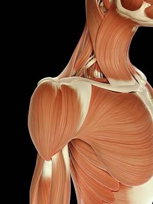 Human Shoulder Muscles Art Print by Sebastian Kaulitzki