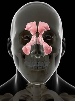 Human Head Photograph - Human Sinuses by Sciepro