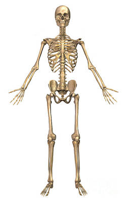 Costae Spuriae Digital Art - Human Skeletal System, Front View by Stocktrek Images
