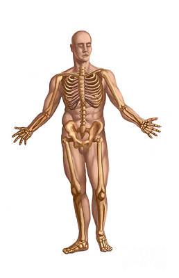 Male Nude Drawing Photograph - Human Skeletal System by Spencer Sutton