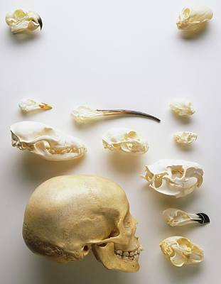 Human Skull Photograph - Human Skull And Animal Skulls by Dorling Kindersley/uig