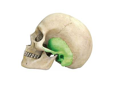 Human Skull And Temporal Bone Art Print
