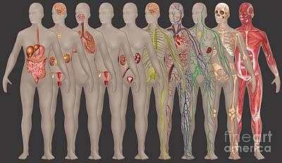 Human Systems In The Female Anatomy Print by Gwen Shockey