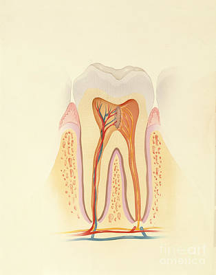 Photograph - Human Tooth by Carlyn Iverson