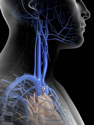 Human Head Photograph - Human Veins In Neck by Sciepro