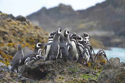Photograph - Humboldt Penguins by Eric Dewar
