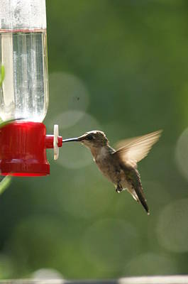 Photograph - Hummer 2 by Heidi Poulin
