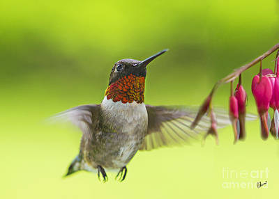 Photograph - Hummer by Alana Ranney