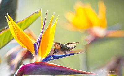 Photograph - Hummer At Bird Of Paradise by Dorothy Cunningham