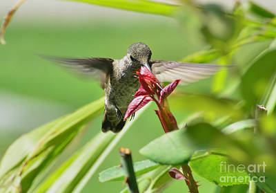 Art Print featuring the photograph Hummer At The Rose by Debby Pueschel