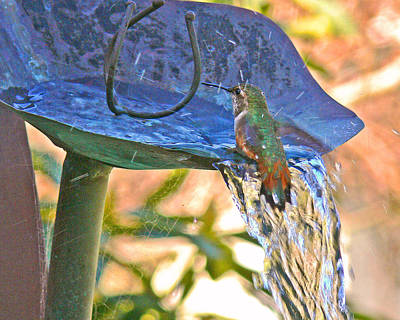 Photograph - Hummer Bathing  by Gracia  Molloy