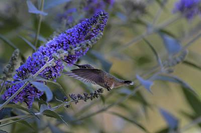 Photograph - Humming Bird Green- Butterfly Bush by Rae Ann  M Garrett