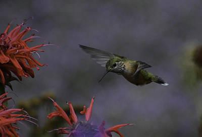Photograph - Hummer-bt-monardichumm by Rae Ann  M Garrett