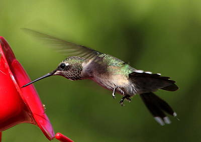 Photograph - Look Hummingbird Eyelashes by Reid Callaway