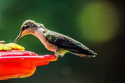 Photograph - Hummer Feeding by Connie Dye