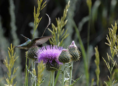 Photograph - Hummer-flightlow-hbthistleside by Rae Ann  M Garrett