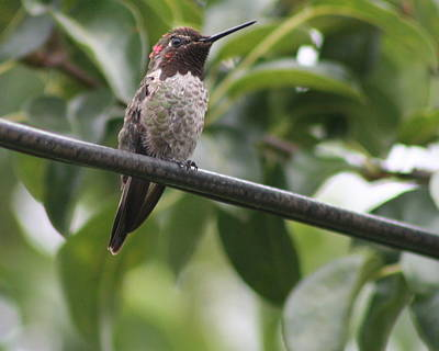 Photograph - Hummer On A Wire by Quin Sweetman