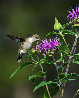 Photograph - Hummer On Bee Balm by Linda Shannon Morgan