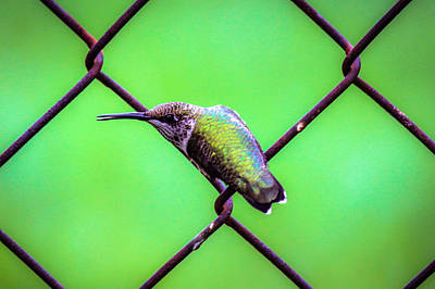 Photograph - Hummer On Fence by Connie Dye