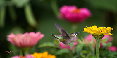 Photograph - Hummer On Yellow Zinnia by Don Anderson