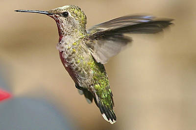 Photograph - Hummer by SC Heffner