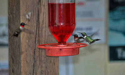 Photograph - Hummers by David Armstrong