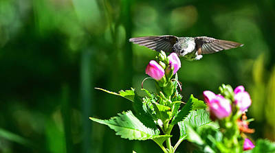 Photograph - Humming Bird 10 by Jim Boardman